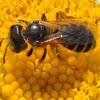 Tansy bee