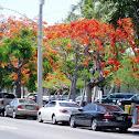 Royal Poinciana Tree aka Flamboyant aka Flame tree