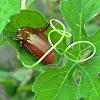 Shining Leaf Chafer