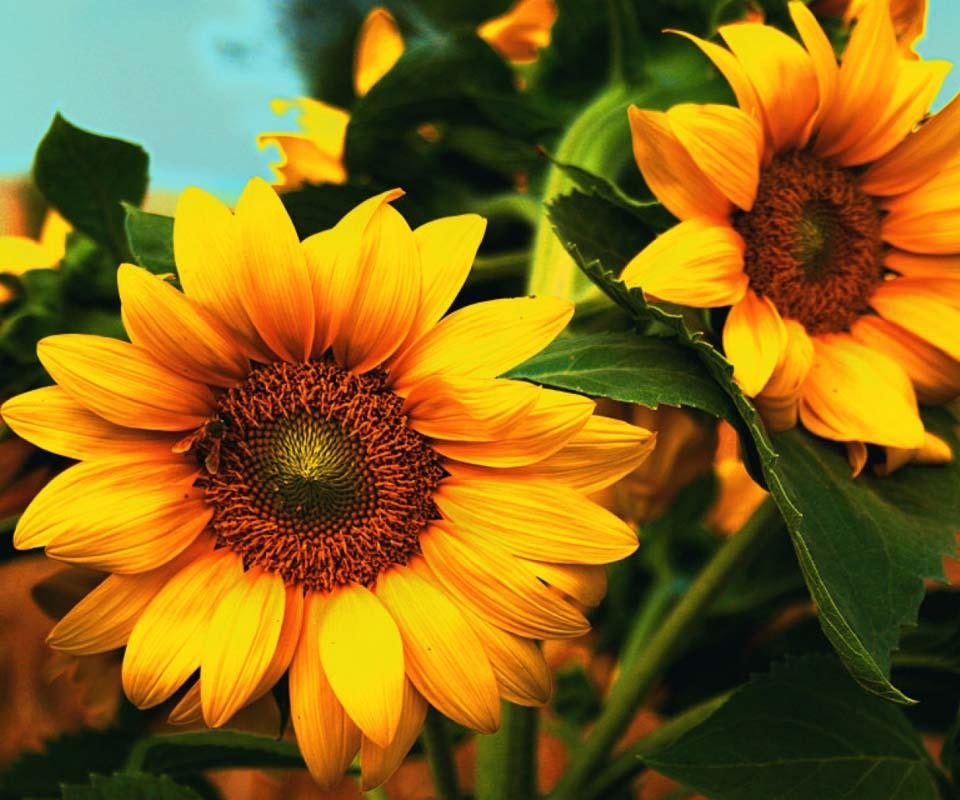 3d Sunflower Wallpaper Impremedia Net