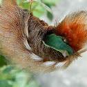 Megalopygid Moth Caterpillar