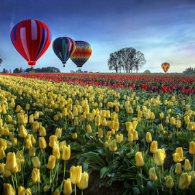 Hot air balloons over tulip field by William Lee - Nature Up Close Gardens & Produce ( tulip farm, travel, landscape, balloons, spring, adventure, spring colorful flowers, tulip field, red, tulips yellow, blue, pilot, outdoors, hot air balloons, flowers, springtime )