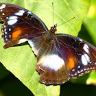 Female Varied Eggfly