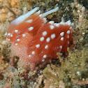 Flavelina tejla Nudibranch