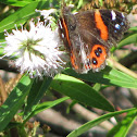 New Zealand Red Admiral
