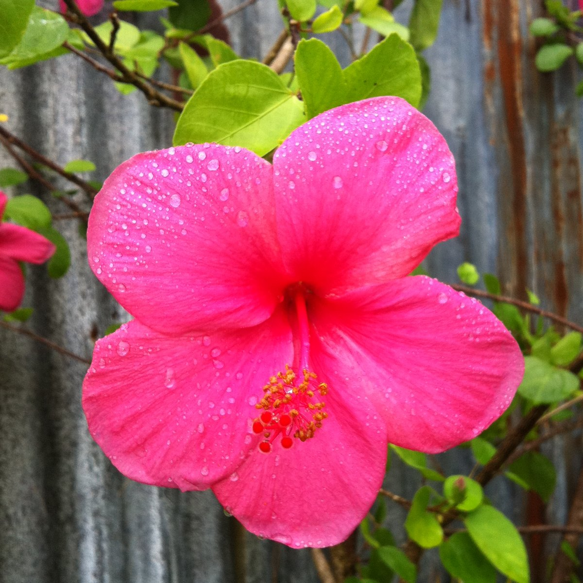 Hibiscus Gumamela China Rose Shoe Flower Project Noah