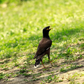shalik by Manjurul Reza - Animals Birds