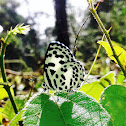Common Pierrot