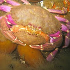 Dungeoness crab