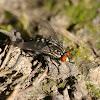 Common Flesh Fly / Mouche à damier