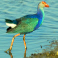 Migratory Birds of Gujarat