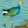 Migratory Birds of Gujarat