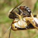 Grasshopper eating a Bee