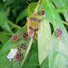 shield bug brood