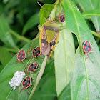 shield bug brood