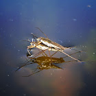 Water Striders mating