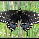 (Eastern) Black Swallowtail