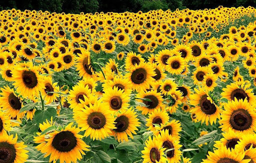 Sunflowers Wallpapers HD