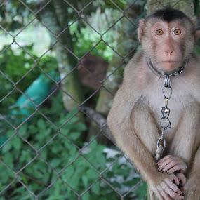 Monkey by Shafiq Azli - Animals Other Mammals ( masjid, chain, green, learn, monkey )