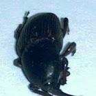 Sisal Weevil