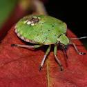 Green Vegetable Bug Nymph