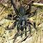 Cork Lid Trapdoor Spider