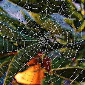 Spider web in the orange tree by Chris KIELY - Nature Up Close Webs ( orange, tree, spider, web, leaves, spiderweb,  )