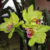Cattleya hybrid