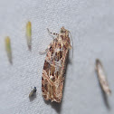 Macramé Moth