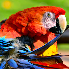 Color Coded by Francisco Little - Animals Birds ( bird, parrot, rainbow,  )