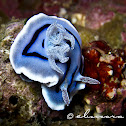 Willan's Chromodoris