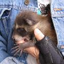 Raccoon pup