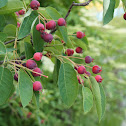 Service berry