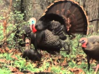 Wild Turkey -- Part 2