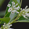 Din ka Raja (King of the day), Day-blooming Cestrum, Day-blooming Jessamine, and Day-blooming Jasmine