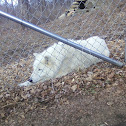 Arctic Gray wolf