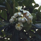 Plumeria Higher classification- apocynaceae