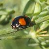 Melanistic Two-Spotted Ladybug