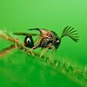 Eucharitid wasps