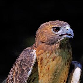 Red Tail Portrait by Dyane Kirkland - Animals Birds ( bird of prey, spotted eagle, red-tail, raptor, hawk )