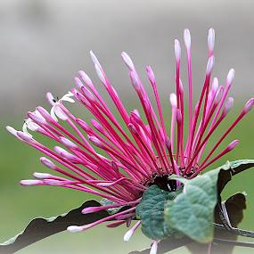 Star Flower by Charmaine Albury - Flowers Flowers in the Wild
