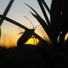 Handicapped Leaf-footed Stink Bug
