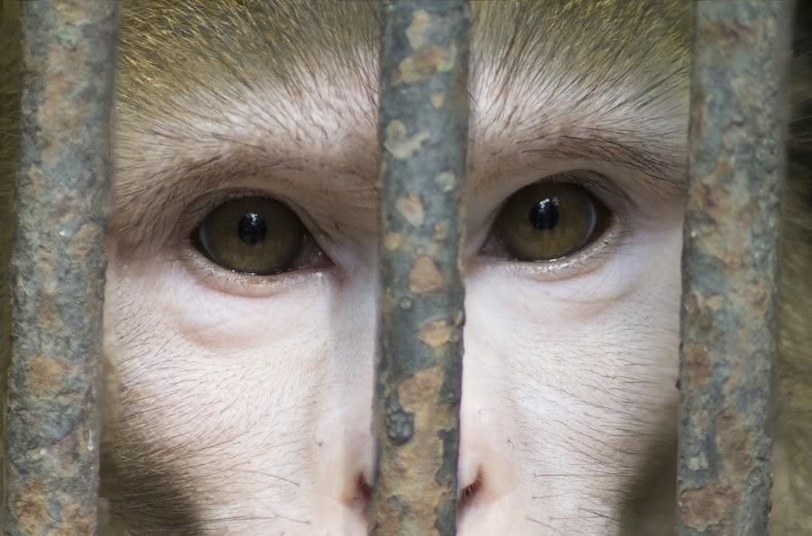 Freedom by Mantra Trivedi - Animals Other ( liberty, freedom, zoo, portrait, monkey, animal )