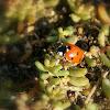 Ladybird/Lieveheersbeestje