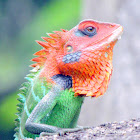 Green Forest Lizard