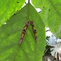 Helenor Morpho or Blue Morpho (Larvae)