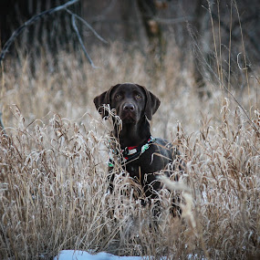 ZZ by Laura Gardner - Novices Only Pets ( winter, hunting dog, nd, outdoors, mutt, love my dog, hiking, lab mix,  )