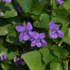 Early Dog-violet