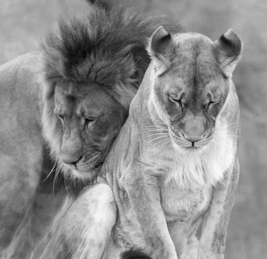 Show of Affection by Nauman Khan - Animals Lions, Tigers & Big Cats ( cats, love, lion, affection, zoo, tiger, lioness, majestic, black and white, animal,  )