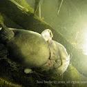 swamp fish